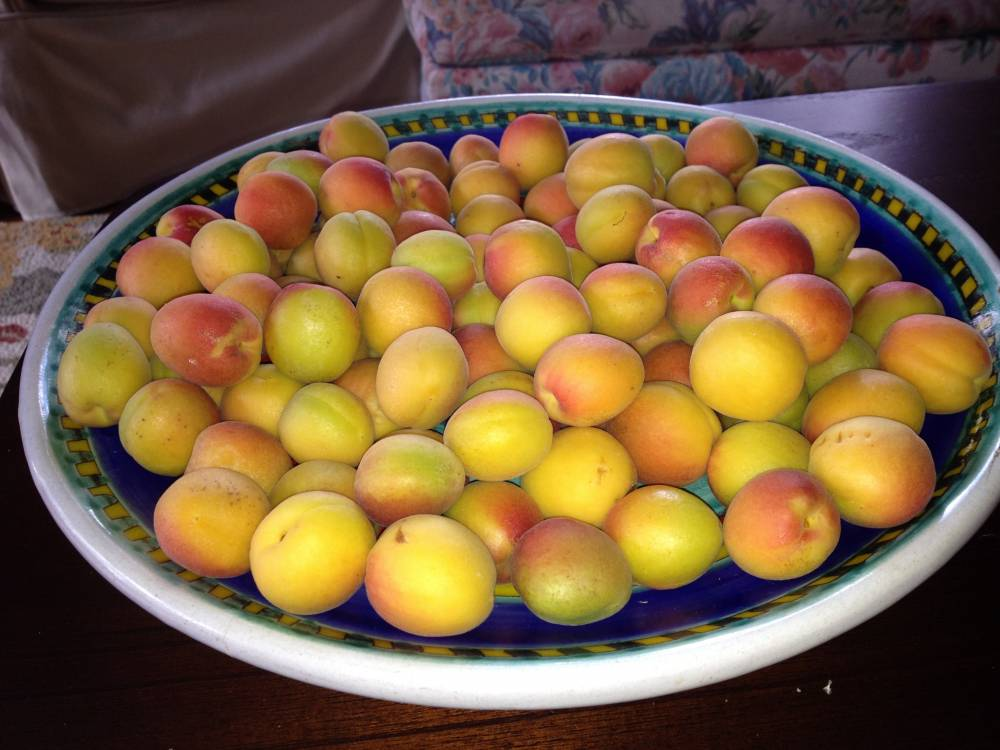 apricots sized